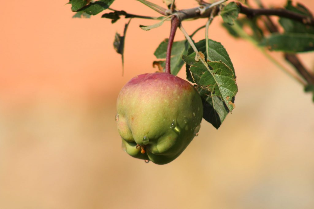 Real Ingredients, like this apple, make Maple Holistics products what they are